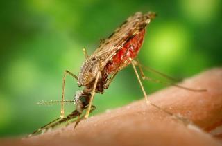 Anopheles (mosquito)
